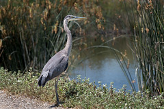 610_3276 (rskim119) Tags: irvine san joaquin wildlife sanctuary refuge nikon d610 28300 bird animal nature great blue heron