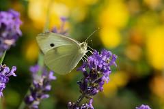 Le jardin - Papillons - (Noir et Blanc 19) Tags: nature plantes fleurs lavande macro insecte papillon sony a77