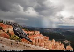 Raven in Bryce waiting for the storm (eraneran70) Tags: eran bendheim canon eos1 1530mm rave crew bird nature landscape bryce weather utah usa