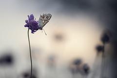 Azurément (Thomas Vanderheyden) Tags: butterfly papillon ngc beautifulearth lepidoptere insect insecte faune fauna nature macro proxi azure fujifilm samyang135mm xt1 colors couleur bokeh thomasvanderheyden