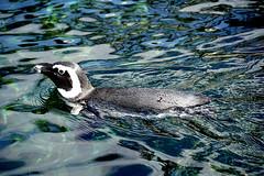 Brillenpinguin (ingrid eulenfan) Tags: zoo hannover tier animal vogel bird wasser