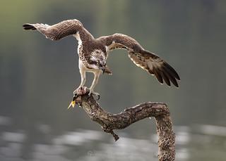 Osprey Flap 29th W July