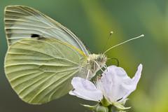 Großer Kohlweißling (Pieris brassicae) (kalakeli) Tags: butterflies schmetterlinge droverheide kreuzau düren june juni tiere fauna closeup macro nahaufnahme 2018