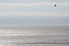 the artist (Claudia Künkel) Tags: oregon pacificocean osprey flight