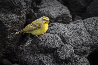 Yellow-fronted Canary - Hawaii