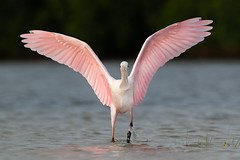 Pretty in Pink (PeterBrannon) Tags: ajajaajaja bird florida nature northbeach plataleaajaja wadingbird wildlife wingspan pink roseatespoonbill spoonbill