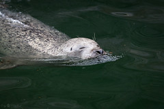 Harbor seal (Cloudtail the Snow Leopard) Tags: seehund tier animal mammal säugetier robbe hundsrobbe phoca vitulina harbor harbour common seal zoo stadtgarten karlsruhe
