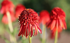The inspiration for Nudu Beanie hats? (Through Serena's Lens) Tags: coneflower rudbeckia hotpapaya echinacea botanical garden outdoor nature red flower colorful bright dof bokeh canoneos6dmarkii 7dwf