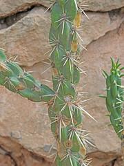 CAE017373a (jerryoldenettel) Tags: 180803 2018 cactaceae caryophyllales coreeudicots cylindropuntiaspinosior dogcanyon nm opuntiaspinosior oteroco wildflower cactus canecholla cholla flower opuntia