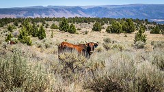 Cattle grazing on Steens Mountain (BLMOregon) Tags: blm bureauoflandmanagement steensmountain steens harney burns hines range rangeland cattle grazing