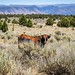 Cattle grazing on Steens Mountain