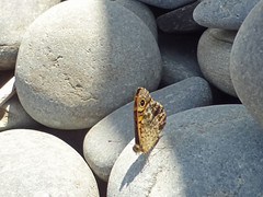 Wall butterfly on Borth beach (John Clift) Tags: wales ceredigion wildlife butterflies