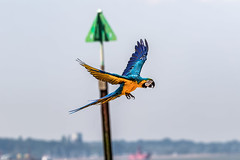 Rio doing a fly by. (ian_tilden) Tags: landguardpoint felixstowe nature ornithology birdinflight flying parrot psittacidae macaw