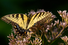 Eastern Tiger Swallowtail (Eric Tischler) Tags: tiger swallowtail butterfly