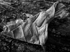 Desiccated (arbyreed) Tags: arbyreed macromondays decay close closeup leaf wood old nature monochrome bw blackandwhite