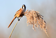Handsome watcher. (pstone646) Tags: bird nature animal reed beardedtit male bokeh stodmarsh kent wildlife fauna flora perched high feeding seeds