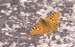 Petit nacré - IMBF4005 (6franc6) Tags: papillon occitanie languedoc gard 30 cévennes juillet 2018 6franc6 montaigoual