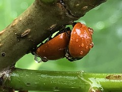 Happy Ladybugs (Adam J Skowronski) Tags: mating insect red ladybug lady bug droplet water