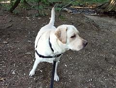Gracie after her swim (walneylad) Tags: gracie dog canine pet puppy lab labrador labradorretriever cute august summer evening lynnvalley hunterpark swim creek