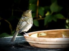 Hot days*We need water❤juv.Robin (BrigitteE1) Tags: hotdays hotsummer birds juvenil juvbirds rotkehlchen robin juvrobin juvrotkehlchen bird vogel