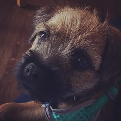 Elfin (sarahgraham7) Tags: puppylove pet pets terrier borderterriers borderterrier dogs dog puppies puppy