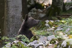 INCONTRO SLOVENO (ric.artur) Tags: orsonaturanaturalmente nikon slovenia animali