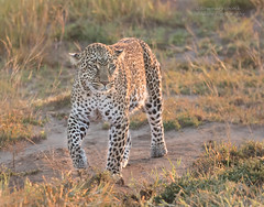 Female Leopard - Panthera pardus (rosebudl1959) Tags: 2018 kenya masaimara zebraplains kaboso femaleleopard ris