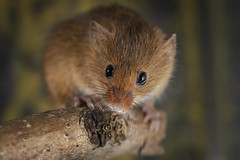 Harvest Mouse 3 (Darwinsgift) Tags: harvest mouse nikkor micro 200mm f4 nikon d850 rodent macro