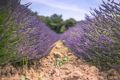 Provence - la vie lavande (Rafael Zenon Wagner) Tags: frankreich lavendel feld sommer pflanzen france lavender field summer flora