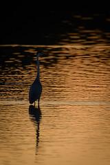 Golden Heron reflection (derliebewolf) Tags: reiher vögel wildlife sunset goldenhour reflection lake greyheron heron summer nature moritzburg d800 gimbal silhouette silence calmwater