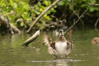 Duck splashing