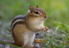 Enjoying a Peanut (Rainfire Photography) Tags: summer chipmunk rodent animal nature wildlife treat snack lyndeshores nikon d7200