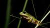 Litoria caerulea (Green tree frog) (ValdemarJoergensen) Tags: queensland townsville wildlife nature litoria frog amphibian macro