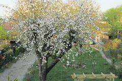 The apple tree in full bloom (*SHERWOOD*) Tags: france vendée larochesuryon home garden