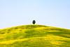 Solo ma con vista. (Enzo Ghignoni) Tags: collina fiori erba albero gialo verde toscana pienza valdorcia