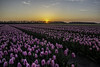A journey full of tulips (wimvandemeerendonk, back home) Tags: flower flowers tulips tulip flevoland noordoostpolder color colors colours colour sony sky sun sunset purple pink landscape light netherlands nederland outdoors outdoor orange panorama spring thenetherlands wimvandem