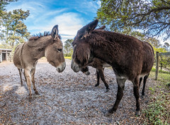 P1200323.jpg (Steve1949) Tags: donkeys animals harkersisland