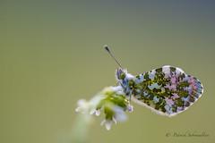 Aurore - Anthocharis cardamines (PatNik01) Tags: france anthochariscardamines aurore bugey fleur papillon pierideducresson nikon
