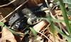 Ringelnatterpaarung, NGID710552900 (naturgucker.de) Tags: ngid710552900 naturguckerde ringelnatter natrixnatrix 915119198 921596514 1036581251 cklaushartwig