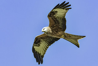 Red kite in the light