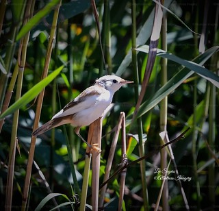 Leucistic Reed Warbler.