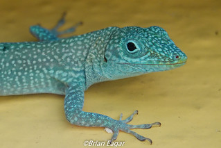 Grand Cayman Anole closeup