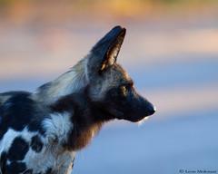 Portrait of a Wild Dog (leendert3) Tags: leonmolenaar southafrica krugernationalpark wildlife nature mammals africanwilddog ngc npc coth5