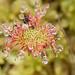 Round-Leaved Sundew catching the rain