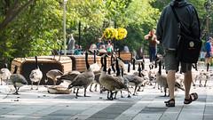 Geesh (Daveography.ca) Tags: park urban waterfowl bird calgary geese canadageese birds city canada goose canadagoose alberta downtown