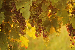 uva d'agosto (@5imonapol) Tags: grapes wine agriculture gardalake summer august sunset nature food