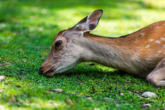 Boiling Hot Day (moaan) Tags: nara japan jp animal domesticanimal fawn deer hot heat day grass ground eating lunchtime focusonforeground selectivefocus depthoffield bokeh bokehphotography canon canonphotography canoneos5dsr ef70200mmf28lisiiusm utata 2018