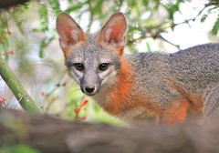 Fox Friend (Monkeystyle3000) Tags: gray fox desert animal