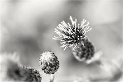 Lightness returns... (Ody on the mount) Tags: anlässe blumenundpflanzen em5ii mzuiko6028 makro nahaufnahme omd olympus pflanzen schwäbischealb wanderung bw monochrome sw
