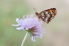 Fritillary (S W Mahy) Tags: lavaur butterfly insect nature macro toulouse id fritillary grass garden closeup papillon france summer flower pretty